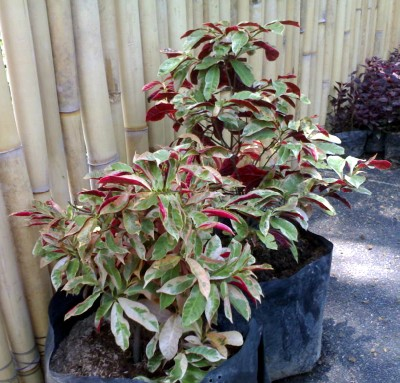 Earth garden landscaping philippines plants for Landscaping plants in the philippines